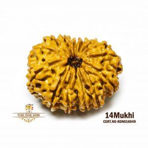 14Mukhi-2878gm-G188